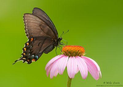 Spicebush Swallowtail on purple coneflower BD