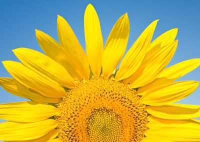 Sunflower half sun