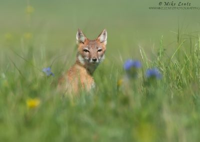 Swift Fox female in flowers with collar
