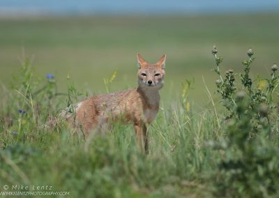 Swift Fox in a big prairiePS2