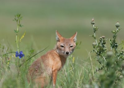 Swift Fox mother near den verticlePS2