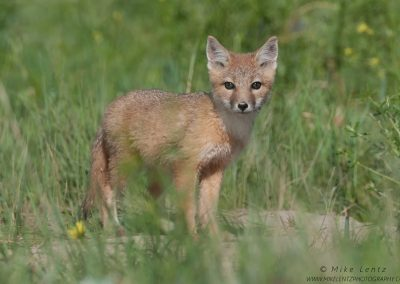 Swift Fox pup staringPS2
