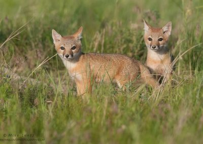 Swift Fox pups at sunrisePS2