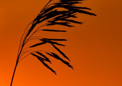 Switchgrass sunset