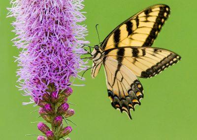Tiger Swallowtail on Blazing Star
