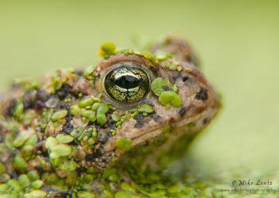 Toad head peek in duckweed