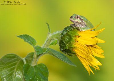Tree Frog horizontal on sunflower
