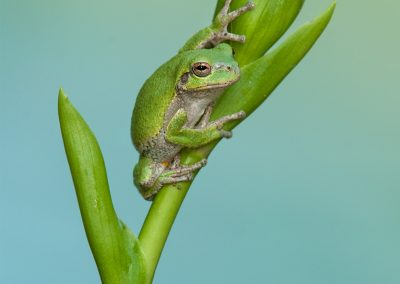 Tree Frog on Hosta by lake