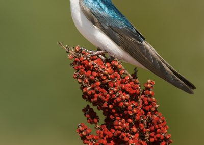 Tree Swallow verticle on sumac PS