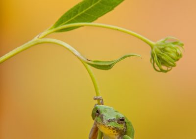 Tree frog dangles on flower with yellow BG