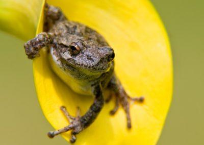 Tree frog in yellow call SLIDESHOW