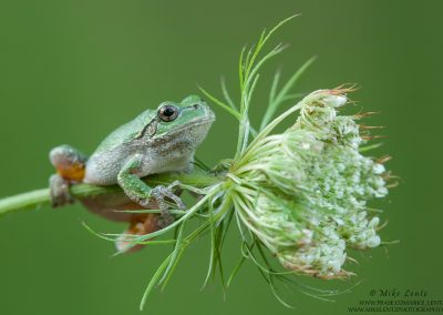 Tree frog on Cow Parsnips