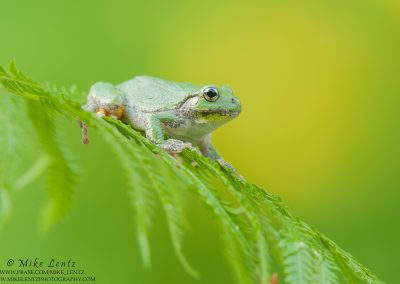 Tree frog on Ferns with yellow bg