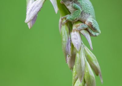 Tree frog on curved Hosta