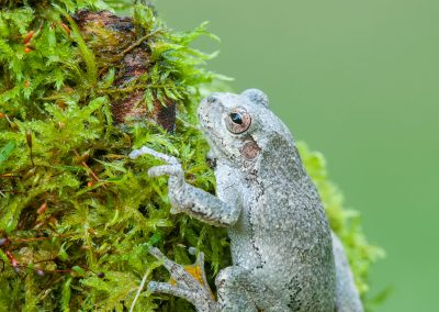 Tree frog on mossy green log
