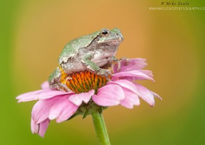 Tree-frog-on-purple-coneflower