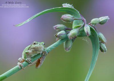 Tree frog on purple flower