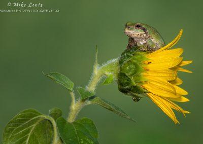 Tree frog on sideways sunflower