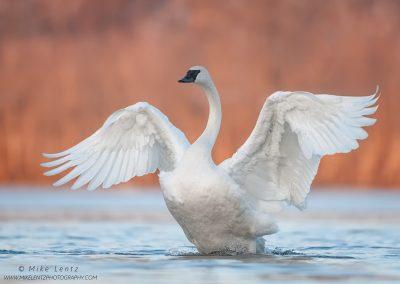 Trumpeter Swan angel posePS2