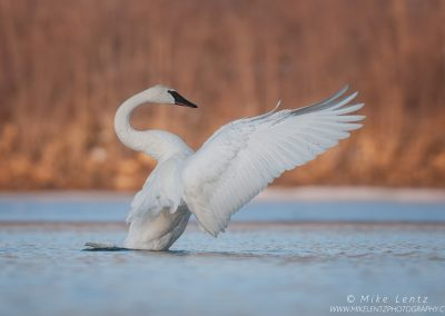 Trumpeter Swan conductorPS2