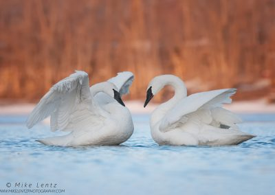 Trumpeter Swan dual wing flapPS2