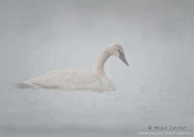 Trumpeter Swan fogged outPS2