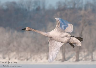 Trumpeter Swan full in flight