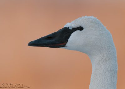 Trumpeter Swan head shotPS2