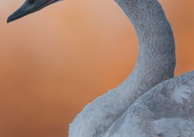 Trumpeter Swan head torso against orangePS2