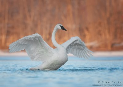 Trumpeter Swan opened up widePS2