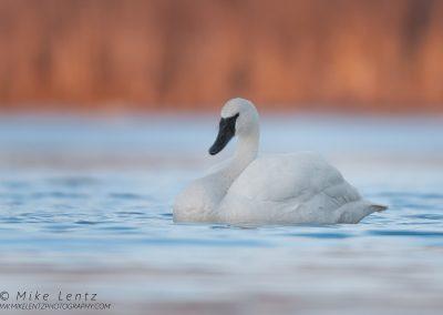 Trumpeter Swan solitudePS2