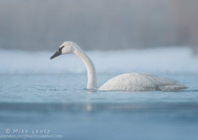 Trumpeter Swan water dripPS2