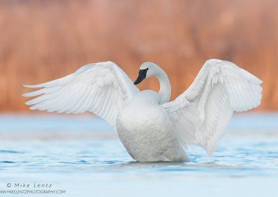 Trumpeter Swan wings blastedPS2