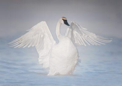 Trumpeter Swan wide open