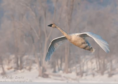 Trumpeter swan flight be trees