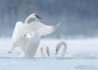 Trumpeter swan wings over lovers in fogps2