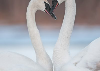 Trumpeter swans loversPS2