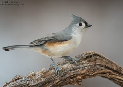 Tufted Titmouse horizontalPS2