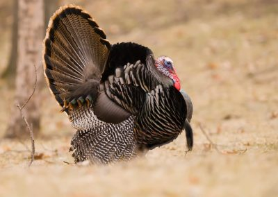 Turkey wide strutter
