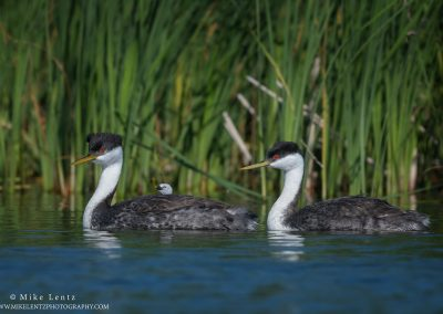 Western Grebe full family in reedsPS2