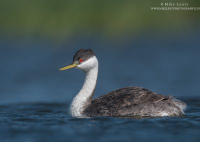 Western Grebe portrait blues and green bgPS2