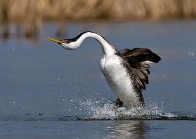 Western Grebe rushing solo in sun SLIDESHOW