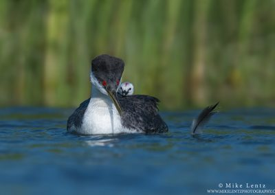 Western Grebe with baby and featherPS2