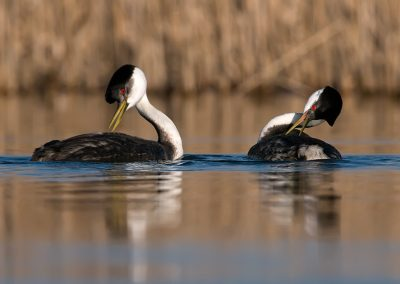 Western Grebes dual SLIDESHOW