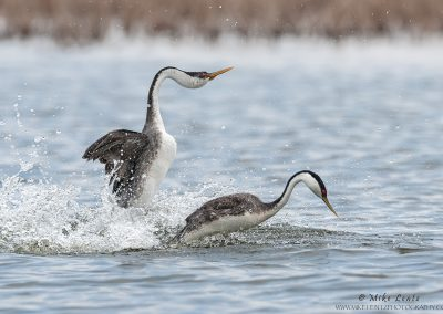 Western Grebe rushing