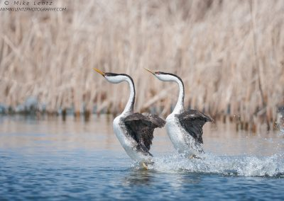 Western Grebes rushing like madPS2