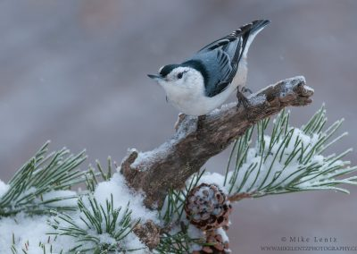 White-breasted Nuthatch on snowy Pine