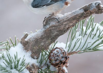 White-breasted Nuthatch winter beautyPS2