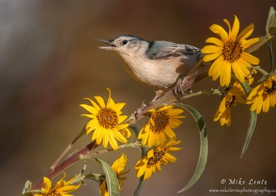 White breasted nuthatch on yellow flowers