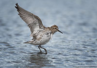 White rumped Sandpiper wings upPS2